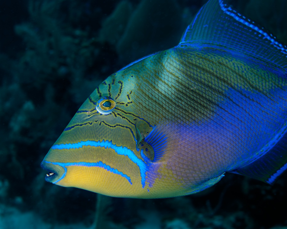Pin tooth fish triggerfish funny pictures on pinterest for Global fish mounts