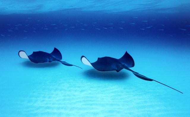 Sting ray fishmount for Is a stingray a fish