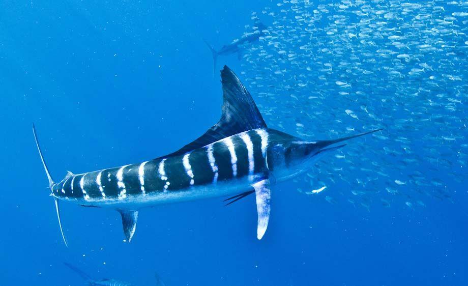 striped marlin fishmount, marlin fish replica