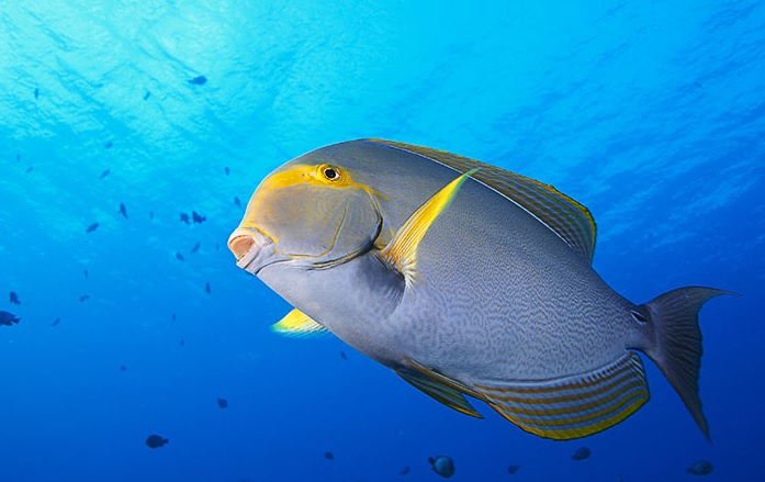 Surgeon fish fishmount for Global fish mounts