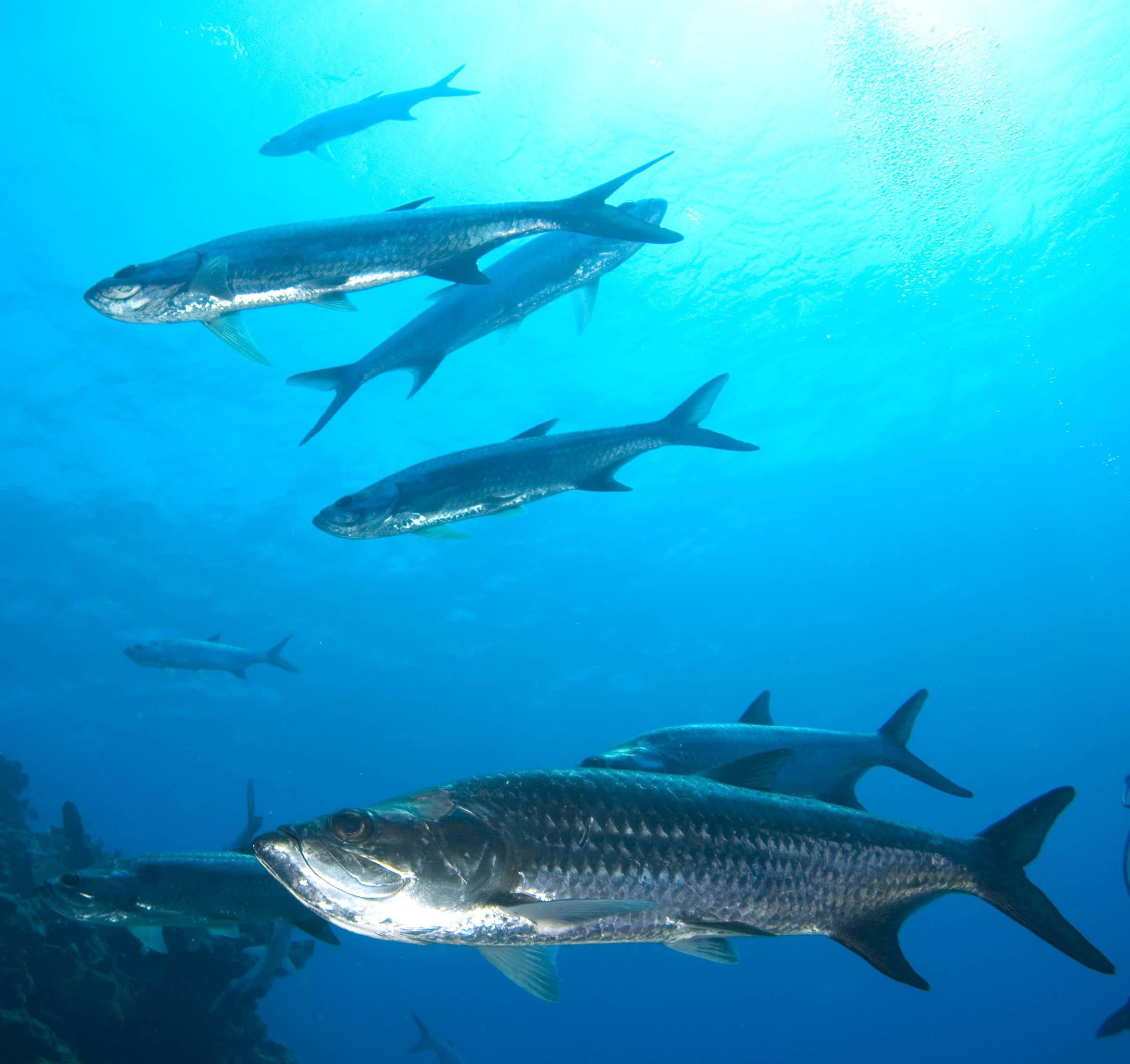 Tarpon fishmount for Global fish mounts