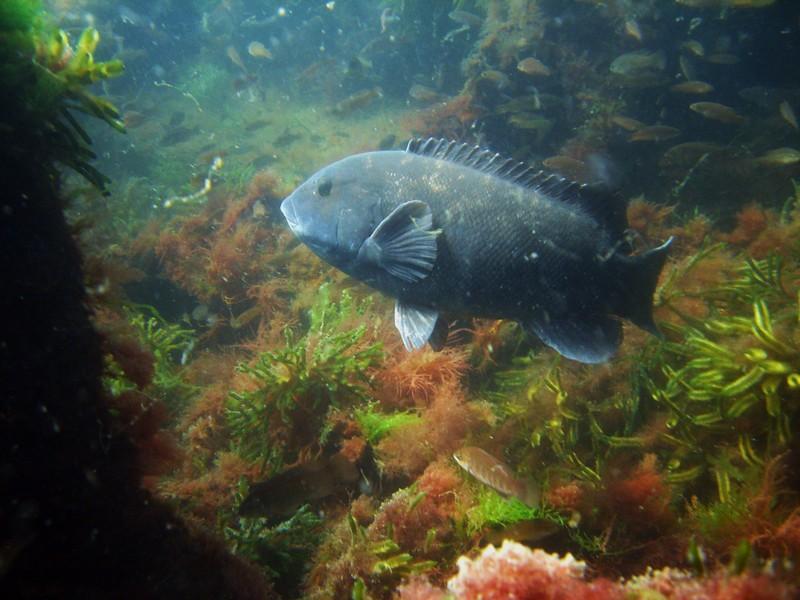 Tautog fishmount for Global fish mounts