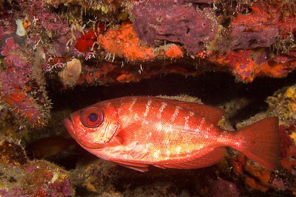 Toro fish related keywords toro fish long tail keywords for Global fish mounts