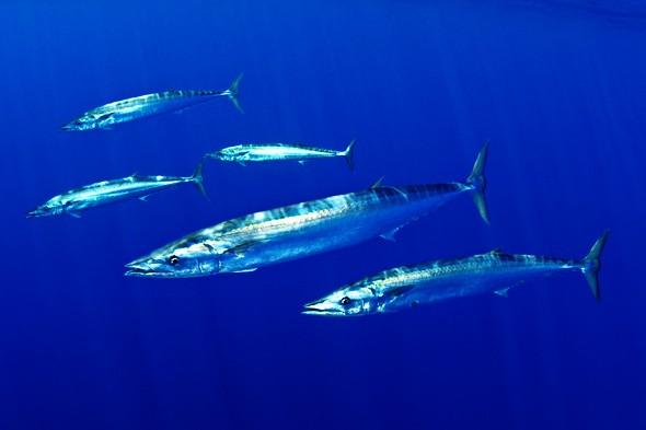 Wahoo fishmount for Global fish mounts
