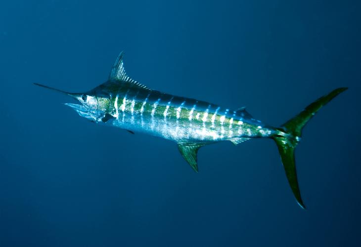 Blue Marlin Of The Pacific Hawaii Deep Sea Fishing