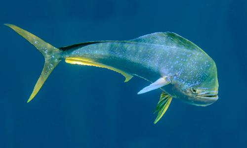 Bull dolphin fish
