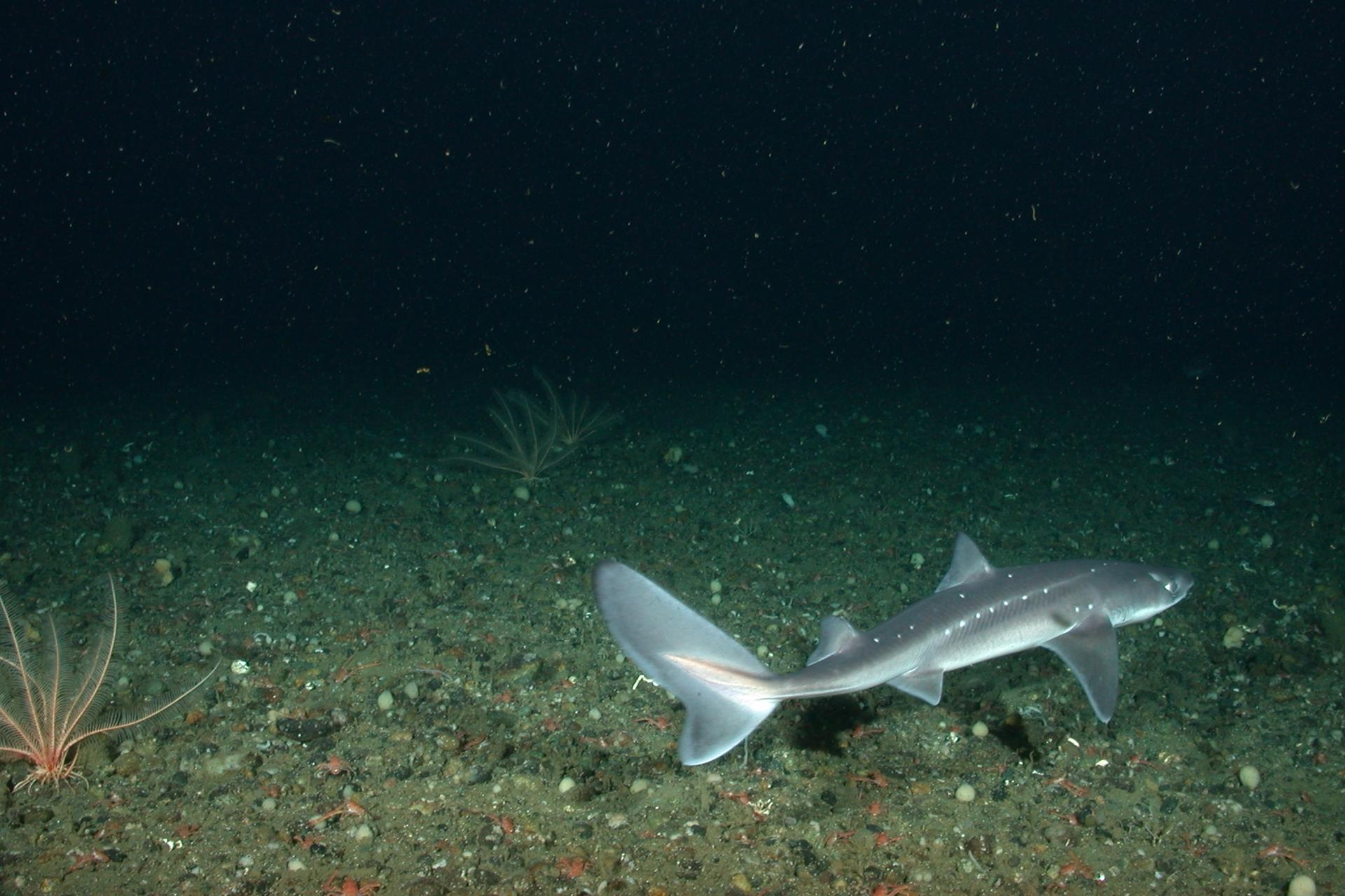 Dog shark fishmount for Global fish mounts
