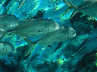 Jack crevalle fishmount for Global fish mounts