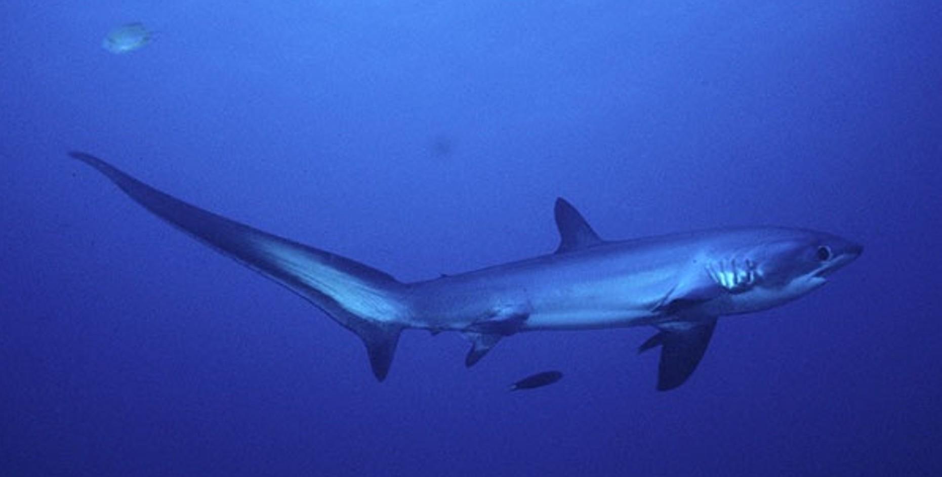 Thresher shark fishmount for Global fish mounts