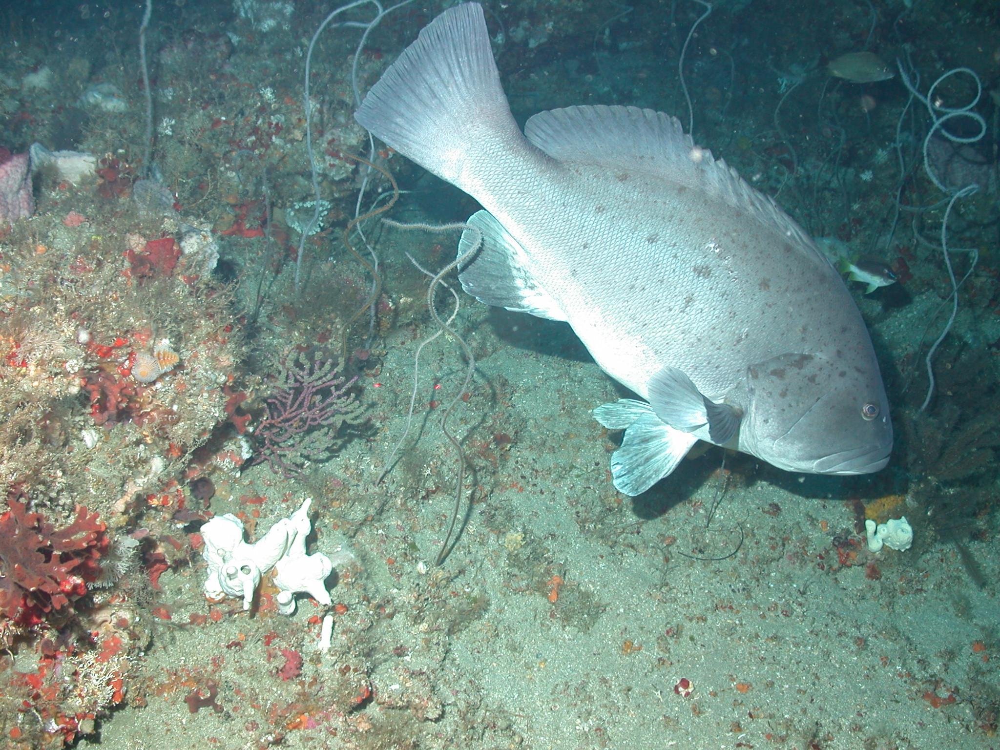 Warsaw grouper fishmount for Global fish mounts