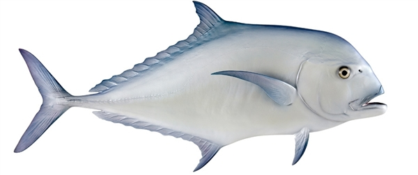 African pompano fish replica for Global fish mounts