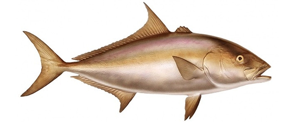 Almaco jack fishmount for Global fish mounts