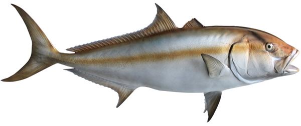 Amberjack fishmount for Global fish mounts