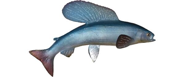 Arctic grayling fishmount for Global fish mounts