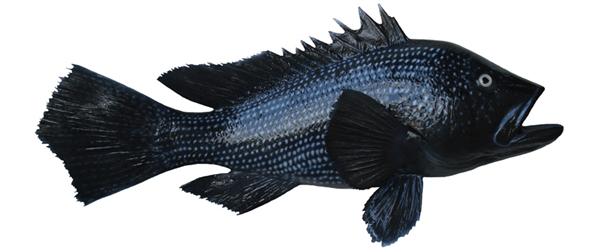 Black sea bass fishmount for Global fish mounts