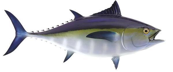 Black fin tuna fishmount for Global fish mounts