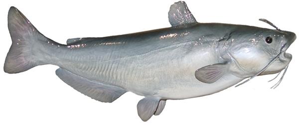 Blue catfish fishmount for Global fish mounts