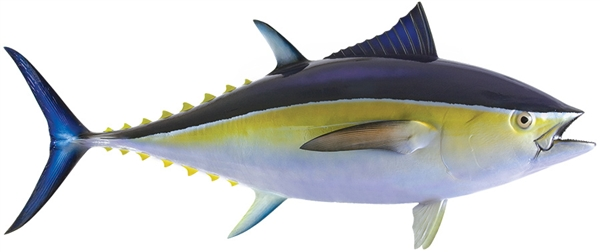 Blue fin tuna fishmount for Global fish mounts