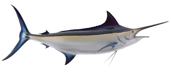 Black marlin fishmounts for Global fish mounts