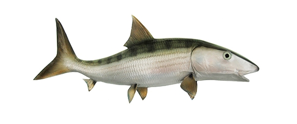 Bonefish fishmount for Global fish mounts