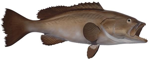 Broomtail grouper fishmount for Global fish mounts