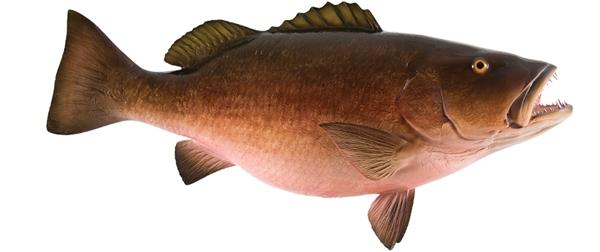 Cubera snapper fishmount for Global fish mounts