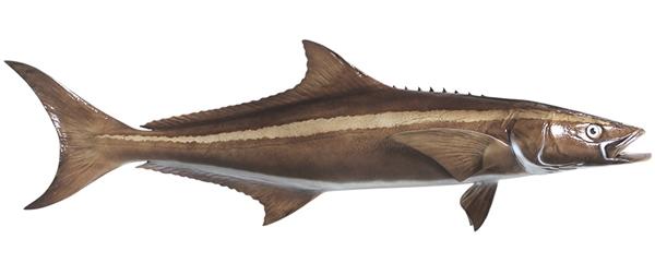 Cobia fishmount for Global fish mounts