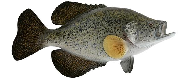 Crappie fishmount for Global fish mounts
