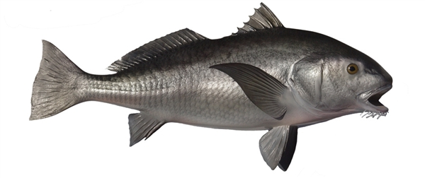 Black drum fishmount for Global fish mounts