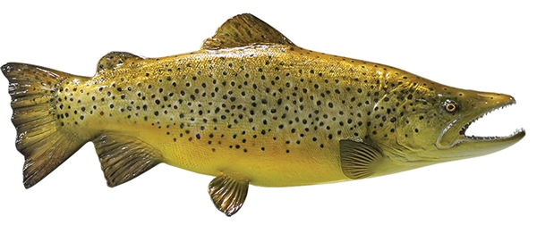 Brown trout fishmount for Global fish mounts