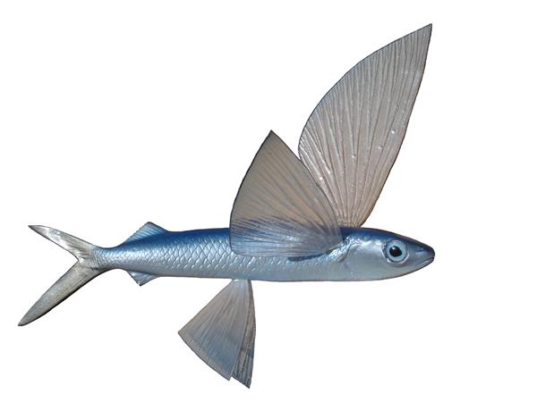 Flying fish baitfish fishmount for Global fish mounts