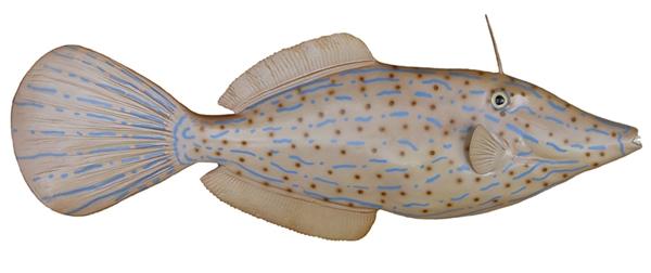 Filefish fishmount for Global fish mounts