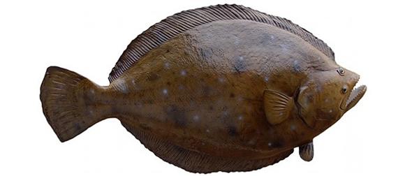 Flounder fishmount for Global fish mounts