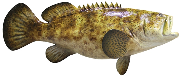 Goliath grouper fishmount for Grouper fish facts