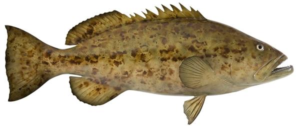 Gag grouper fishmount for Global fish mounts