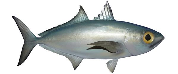 Goggle eye baitfish fishmount for Global fish mounts