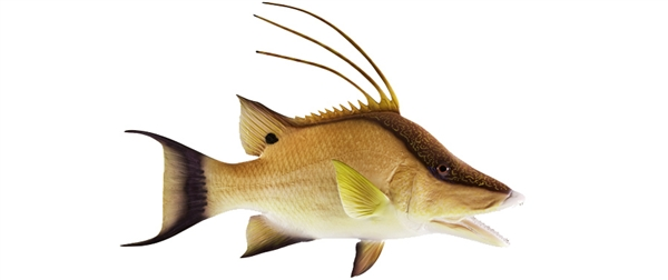 Hog snapper fishmount for Global fish mounts