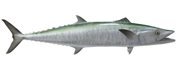 Kingfish fishmount for Global fish mounts