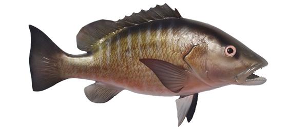 Mangrove snapper fishmount for Global fish mounts