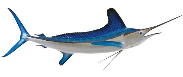 White marlin fishmount for Global fish mounts