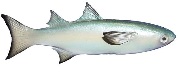 Mullet baitfish fishmount for Global fish mounts