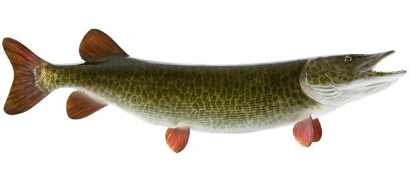 Muskie fishmount for Global fish mounts