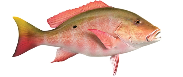 Mutton snapper fishmount for Global fish mounts