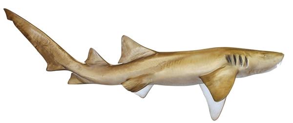 Nurse shark fishmount for Global fish mounts