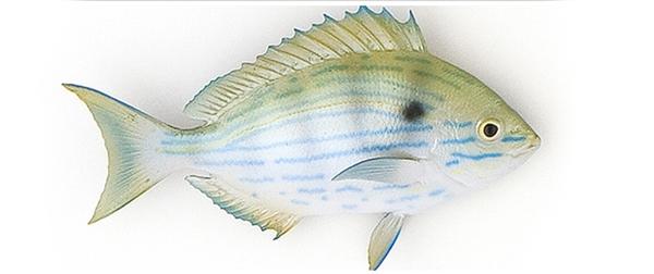 Pinfish fishmount for Global fish mounts