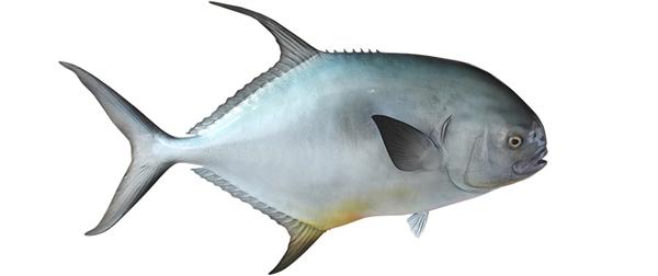 Permit fishmount for Global fish mounts