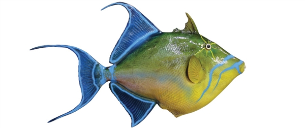 Queen trigger fish fishmount for Global fish mounts