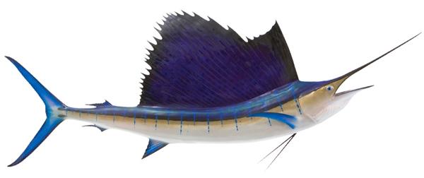 Pacific sailfish fishmount for Global fish mounts