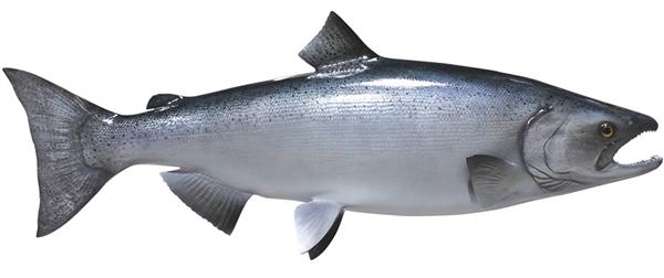 King chinook salmon fishmount for Global fish mounts
