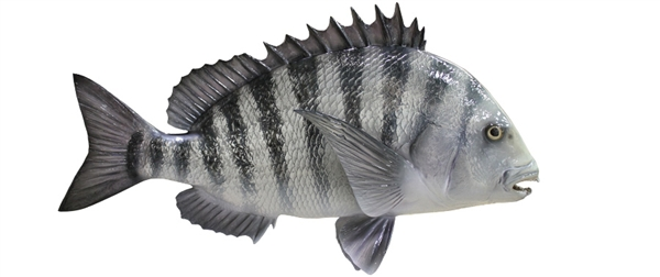 Sheephead fishmount for Global fish mounts